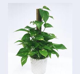 Epipremnum aureum- Pothos